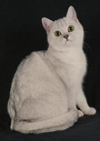shaded silver british cat