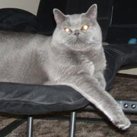 big Blue British Shorthair Cat