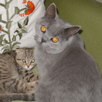 British Blue Shorthair Kitten and Scottish Fold