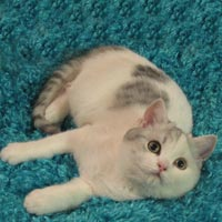 silver calico British Shorthair Kitten