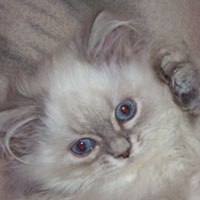 colorpoint British Longhair kitten