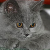 British Blue Shorthair Kitten