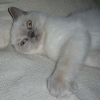 lilac colorpoint British Shorthair kitten