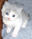 dilute calico british kitten