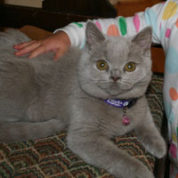 lilac British Shorthair Kitten