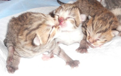 brown tabby British Shorthair kittens