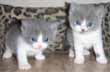 bicolor british kittens