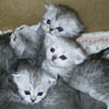 Selkirk Kittens for Sale