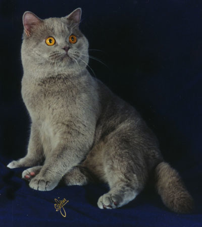 Lilac British Shorthair Boy Cat