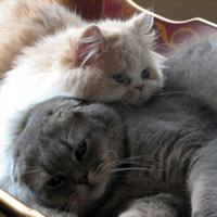 scottish fold cat and persian friend
