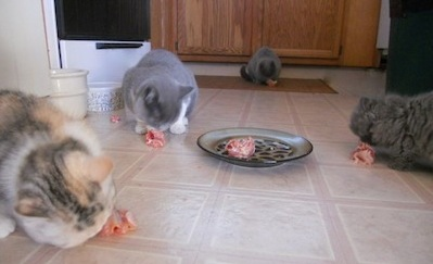 feeding raw meat to cats