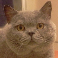 Champion British Shorthair Kittens & Cats California, USA