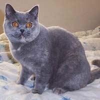 British blue cream Shorthair
