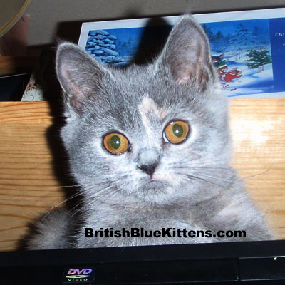 blue-cream British Kitten