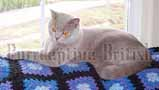Double Grand Champion lilac british shorthair cat