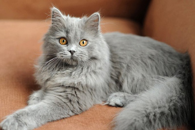 british blue longhair