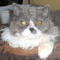 blue & white curly Selkirk Rex