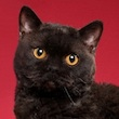 black Selkirk Rex cat