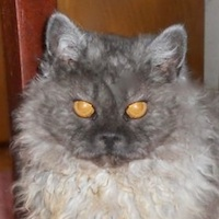 black smoke Selkirk Rex cat