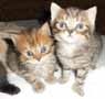 brown tabby kittens
